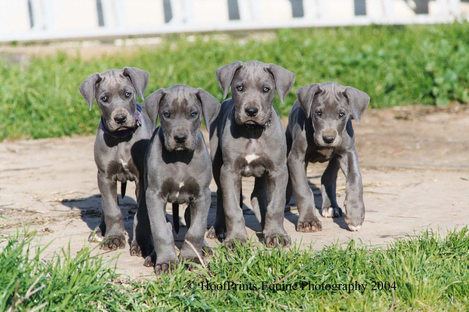 Pet Talk in Illinois: Breed Focus: Great Dane